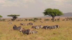 תמונה של זברות שצולמה במהלך טיול לקניה