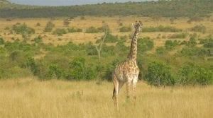 תמונה של ג'ירפה מתוך טיול ספארי באפריקה