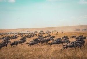 תמונה של עדר בצולמה במהלך טיול ספארי באפריקה