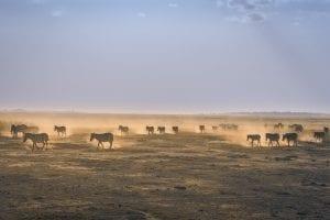 תמונה של זברות מתוך טיול ספארי באפריקה