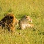 תמונה של אריות מתוך טיול ספארי באפריקה