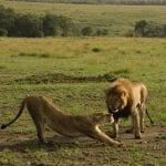 תמונה של אריות שצולמה במהלך טיול לקניה