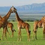 תמונות של ג'ירפות מתוך טיול ספארי באפריקה