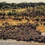 תמונה של להקת תאו שצולמה במהלך טיול ספארי באפריקה