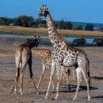תמונה של ג'ירפות בזמן טיול ספארי באפריקה