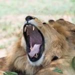 תמונה של אריה מתוך טיול ספארי באפריקה