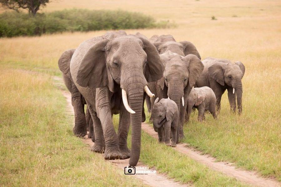 פילים במסאי מארה בטיול ספארי באפריקה